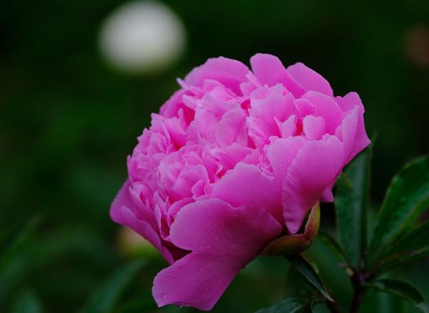 芍薬 紫芙蓉