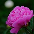 Photos: 芍薬 紫芙蓉
