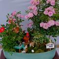 Photos: ミニバラ盆栽「トンガリ帽子の時計台」