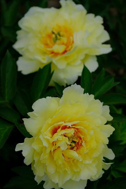 芍薬「花香殿」2