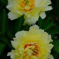 Photos: 芍薬「花香殿」2