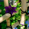 クレマチスと紫陽花