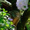 Photos: 紫陽花の間から