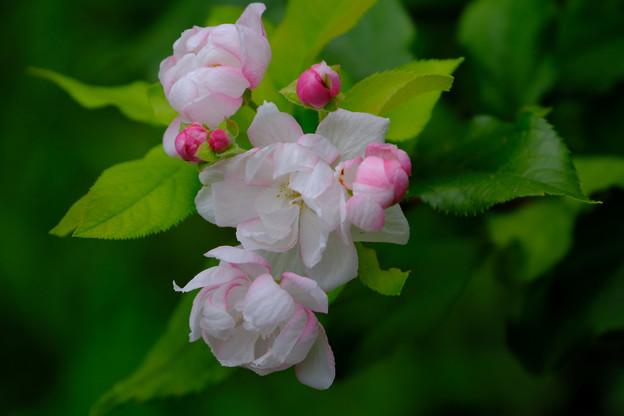 ウケザキカイドウ咲く