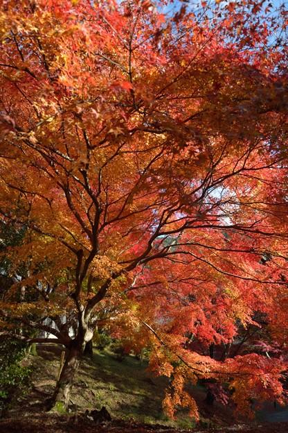 毘沙門堂大きな紅葉