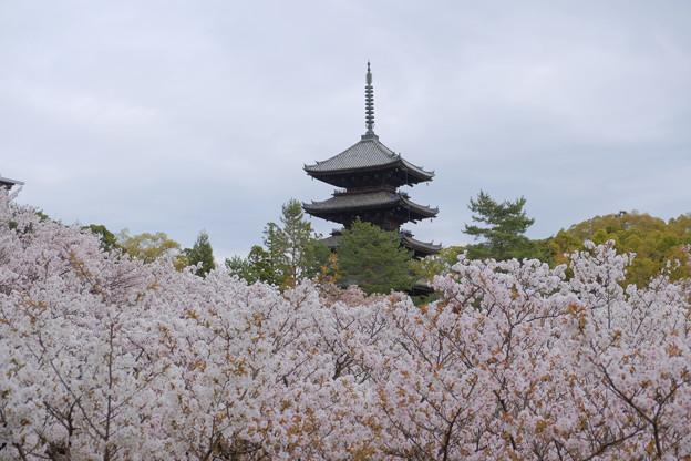 五重塔と御室桜