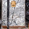 Photos: 鏡桜