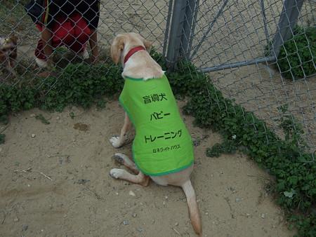 盲導犬候補のパピー