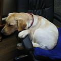 Photos: 椅子で寝る犬
