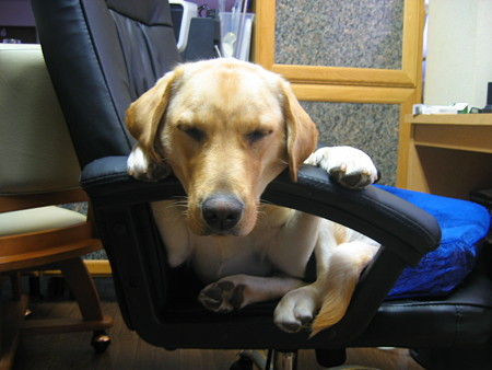 椅子で寝る犬