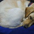写真: 椅子で寝る犬