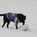 Photos: 雪だるまボールになってしまう