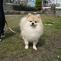 Photos: いっちゃん(ポメラニアン)