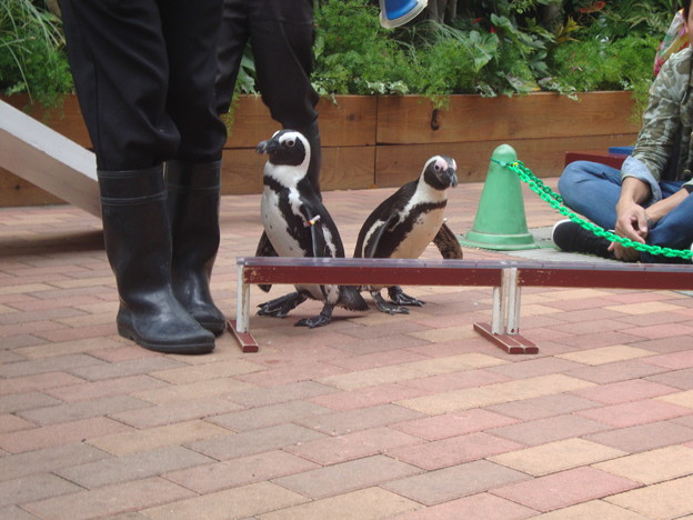 ペンギンの運動会その1