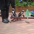 写真: ペンギンの運動会その1