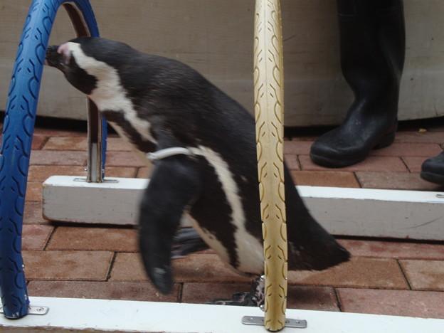ペンギンの運動会その2