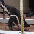 写真: ペンギンの運動会その2