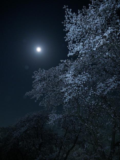 月明かりと桜