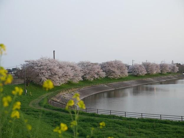 梅ノ木貯水池の春
