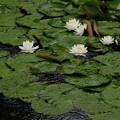 写真: 雨の睡蓮1