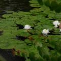 写真: 雨の睡蓮2