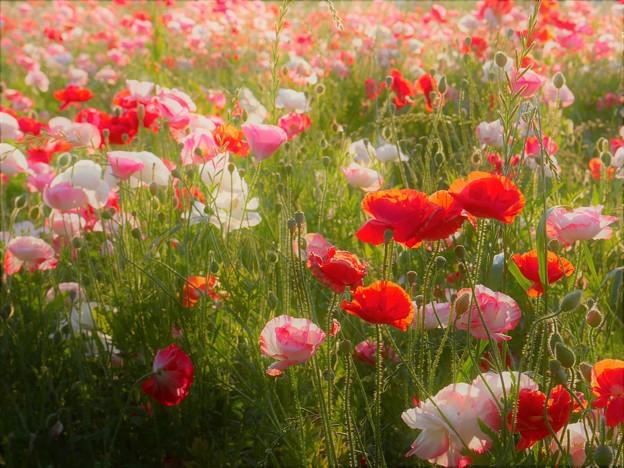 写真: 逆光まぶしいポピー畑