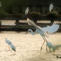 写真: 白鷺の降下