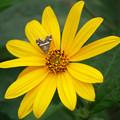 写真: 菊芋の花
