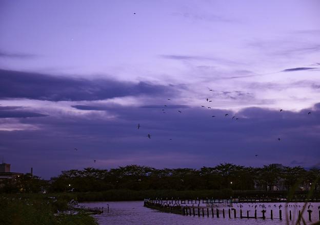 サギ達が飛び交う夕闇