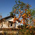 写真: 柿の木