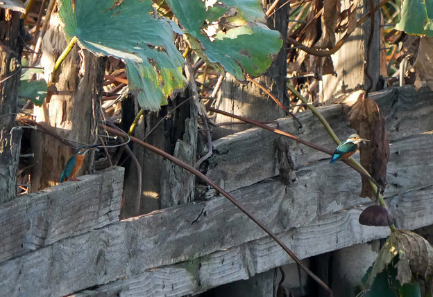 カワセミ2羽