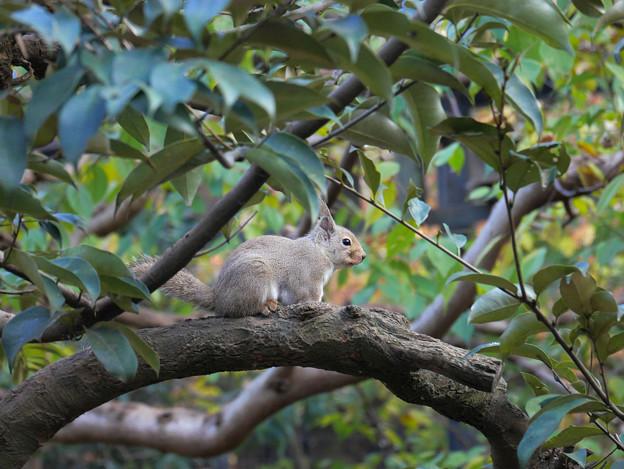 樹上のニホンリスさん