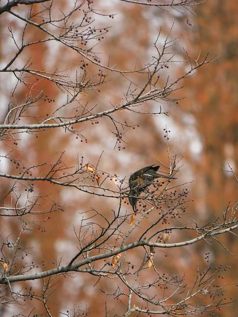 木の実を食べるヒヨドリさん