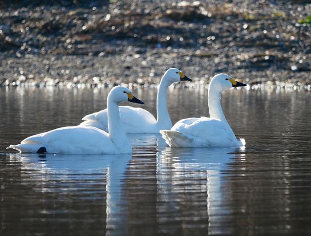 三羽の白鳥