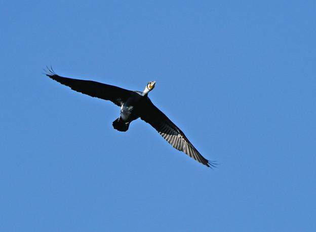 繁殖期のカワウ飛翔1