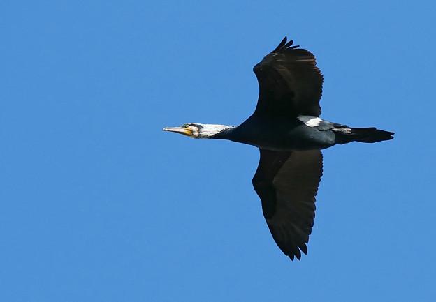 繁殖期のカワウ飛翔2