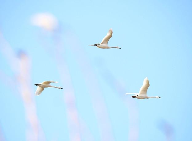 白鳥Flyingファンタジー