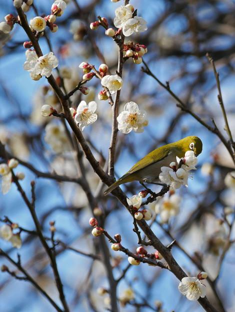 梅に鶯(メジロ)