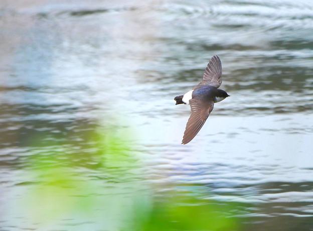 イワツバメさん川辺を飛翔