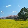 Photos: 菜の花畑と桜415b-m