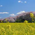 Photos: 菜の花畑と桜654bte-m
