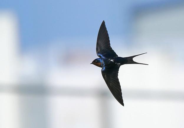 Photos: ツバメさん飛翔