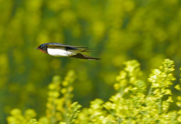 ツバメさん菜の花畑を飛翔