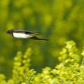 Photos: ツバメさん菜の花畑を飛翔