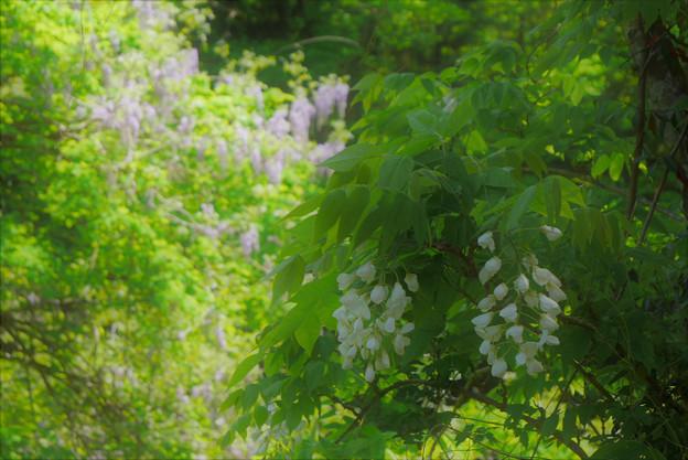 白と紫・ヤマフジ