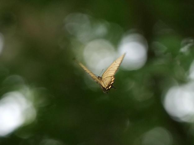 ジャコウアゲハ♀1