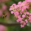 サルスベリにクマバチ2