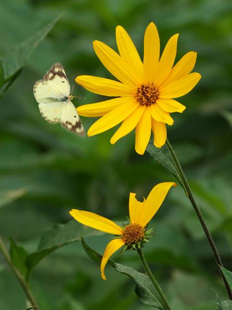 キクイモの花にモンキチョウ