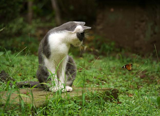 蝶を見る猫