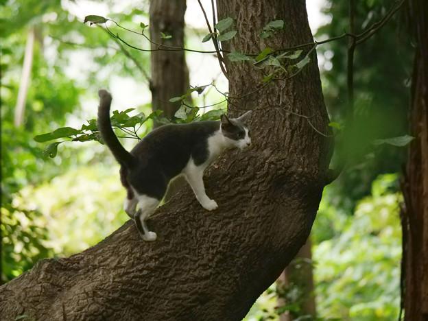 木に登る白灰ブチにゃんこ